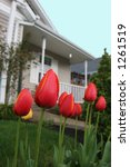House Tulips - stock photo