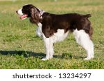 A beautiful English Springer Spaniel running, playing, and posing in the park. - stock photo