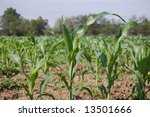 Baby Corn - stock photo