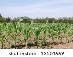 Corn Angle - stock photo