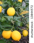 Luscious Bright Yellow New Zealand Meyer Lemons - stock photo