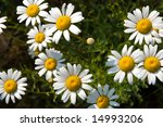 Sunny collection of Shasta daisies (leucanthemum x superbum) in a garden, freshly spangled with rain. - stock photo