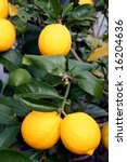 A bunch of bright yellow New Zealand Meyer Lemons on a lemon tree. - stock photo