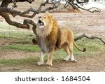 Lion on Safari - stock photo