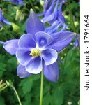 Blue aquilegia - stock photo