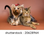 The terrier and cat in studio - stock photo