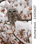 Tawny owl on the beech while snowing - stock photo