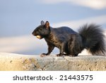 A black squirrel eating an acorn. - stock photo