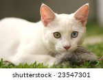 Two color eyes kitty - stock photo