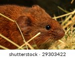 Cute mice,Taiwan vole - stock photo