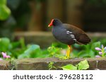 Common Moorhen (Gallinula chloropus) - stock photo
