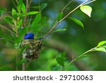 Black-naped Blue Monarch (Hypothymis azurea) - stock photo