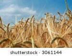 Golden barley ears framed against blue sky - stock photo