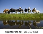 Dutch cows - stock photo
