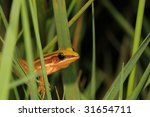 Taipei grass frog hiding in the wetland - stock photo