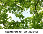 Oak tree leafage, worm's-eye view - stock photo