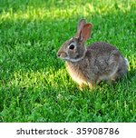 Cute cottontail rabbit in the grass - stock photo