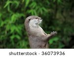 Portrait pretty otter standing watch while holding food. - stock photo