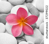 Nice calm image of beach pebbles with a single pink frangipani flower - stock photo