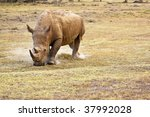 white rhinoceros grazing on plain in kenya africa - stock photo