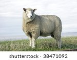 Fine looking sheep standing on a field - stock photo