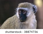 profile of black faced velvet marmoset monkey - stock photo