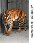 Tiger in a cage to the utmost - stock photo