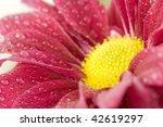a bright red/pink gerber daisy covered in dew drops - stock photo