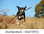 Dog retrieving a stick in Australian bush - stock photo