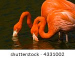 Two flamingos mirroring each other whilst drinking - stock photo