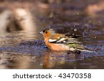 Chaffinch taking a bath - stock photo