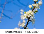 Cherry blossom - stock photo
