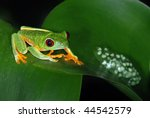 Red eye tree frog with eggs on a leaf in Costa Rica - stock photo