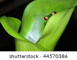 A red eye tree frog peeking out from a plant in Costa Rica. - stock photo