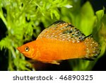 Red Sailfin Molly (Poecilia velifera) in Aqaurium - stock photo