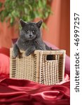 "Gray cat in a basket. ""Russian blue"" breed. - stock photo"