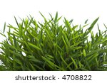 Closeup of Bamboo-leaves on white Background. Dwarf bamboo or Room Bamboo. - stock photo
