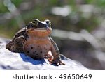 A Natterjack Toad sitting proudly. - stock photo