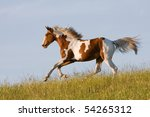 Nice young appaloosa horse running - stock photo