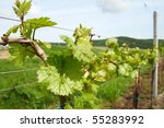 Vineyard land with hills background - stock photo