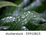 Dewy iris leaves in the morning - stock photo