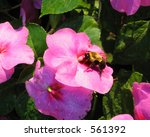 Bumble bee pollinates a flower while collecting nectar - stock photo