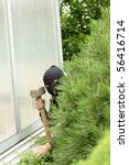 Burglar hidden behind a pine in the garden - stock photo