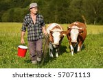 cattle be led, cowboy and his cows struggle through thicket - stock photo