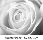 A close-up photo of a white rose - stock photo