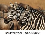 Zebras in soft afternoon light, Serengeti, Tanzania - stock photo
