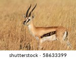 Thomson's gazelle male, Serengeti, Tanzania - stock photo