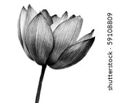 Lotus in black and white on white background. - stock photo