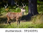 Deer on a forest margin - stock photo