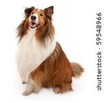 Tan and white Shetland Sheepdog isolated on white - stock photo